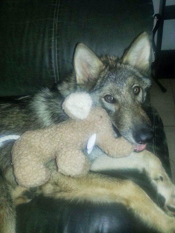 El cachorro de perro que era un lobo