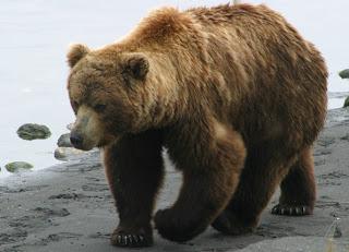 Γρεβενά: Αρκούδα κατασπάραξε ζώα μέσα σε στάβλους!