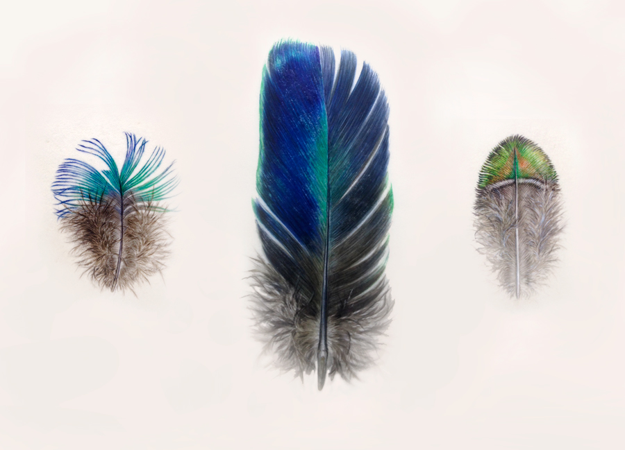 Feather painting on vellum