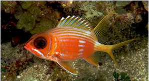 Ikan Hias Air Laut squirrefish