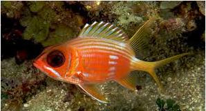 Ikan Hias Air Laut squirrefish