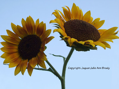 Two Pretty Warm Yellow Sunflower Blossoms