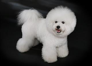 Bichon Frise-pets-dogs-dog breeds