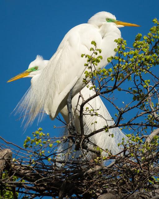 Great Egrets, UT Southwestern Medical Center Rookery