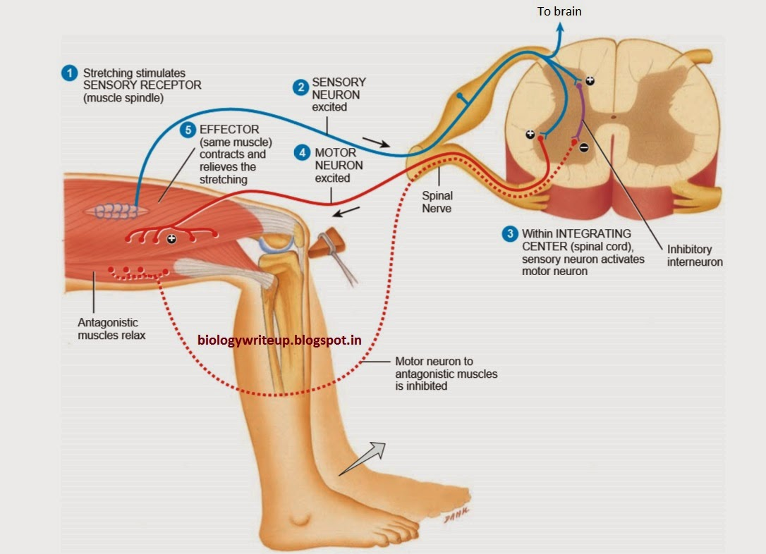 diagram of a simple reflex arc porsche 924 ignition wiring biology write up articles reflexes and