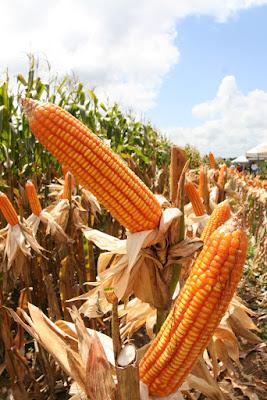 IBGE prevê 770 mil toneladas de milho em Sergipe