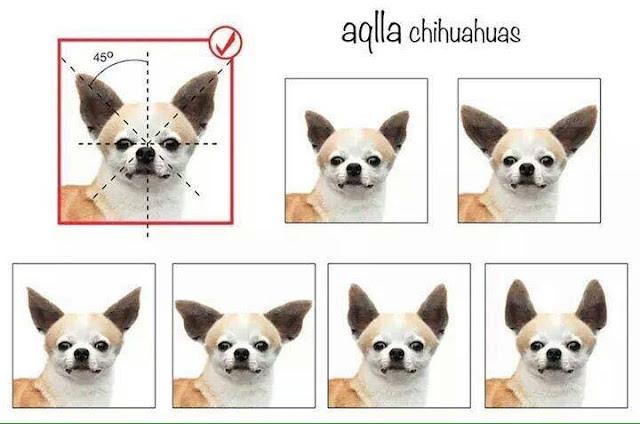 Estandar orejas del chihuahua