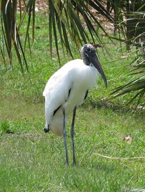 Wood Stork - Wakodahatchee Wetlands, Florida