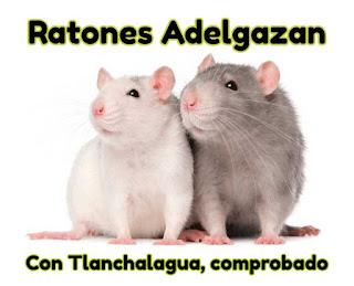 Ratones adelgazan con Tlanchalagua