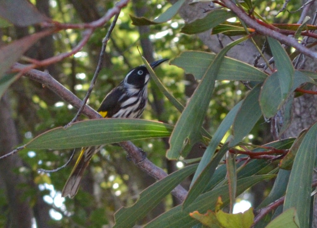A New Holland honey eater since amongst the foliage of a hakea laurina tree.