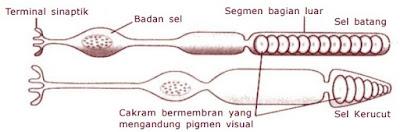 Skema sel kerucut dan sel batang