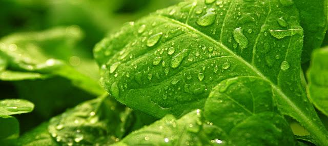 Manfaat Tembakau, khasiat tembakau, manfaat, Manfaat Tembakau untuk tanaman cabe, Manfaat Tembakau bagi kesehatan, Manfaat Tembakau selain untuk rokok, Manfaat Tembakau sebagai peptisida