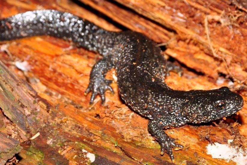 Amphibians: Great Crested Newt - Triturus cristatus