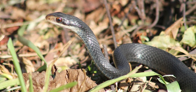 Southern Black Racer/Coluber constrictor priapus