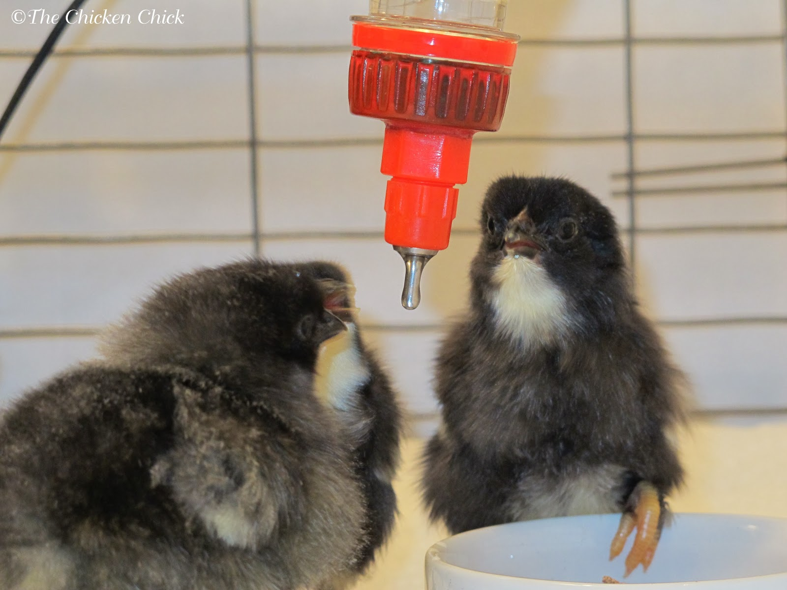 Chicks quickly learn to drink from poultry nipple waterers from day one.