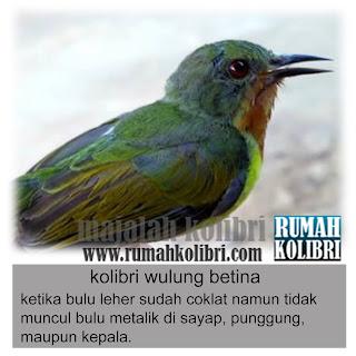 cara membedakan kolibri wulung jantan betina