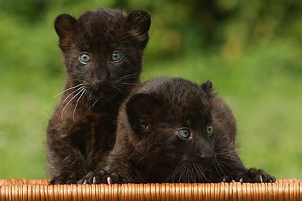 World Images Gallery: Black Panther - photo#15