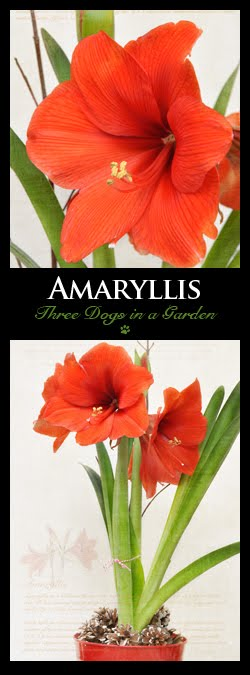 Amaryllis: A Flower Born of Heart's Blood