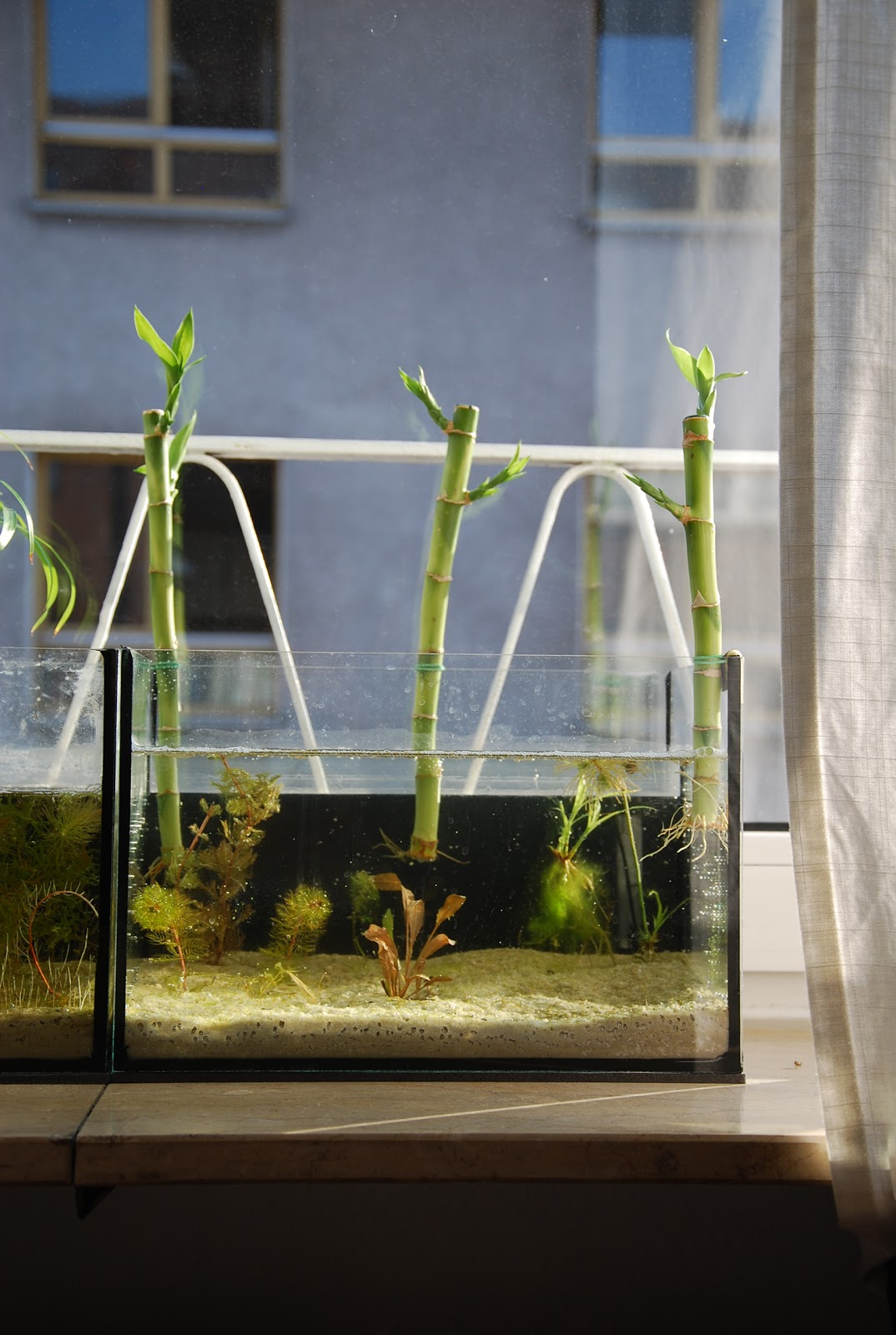 Pondering On Puddles An Update On The 12 Litre Lucky Bamboo Aquarium