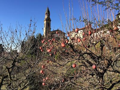 Persimmon tree on the Salita Scorlazzino