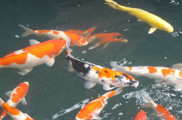 Cara pembutan pakan ikan mas