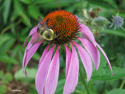 bumblebee on purple coneflower, Echinacea