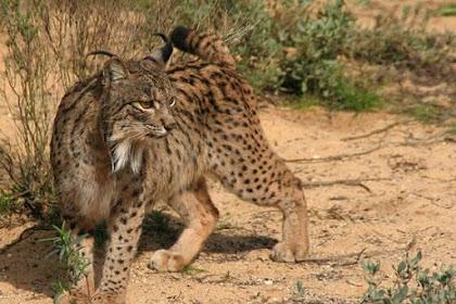 Iberian Lynx : Kucing Pemakan Kelinci Yang Sempat Hampir Punah
