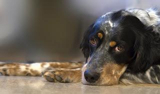 Perro enfermo con leptospirosis