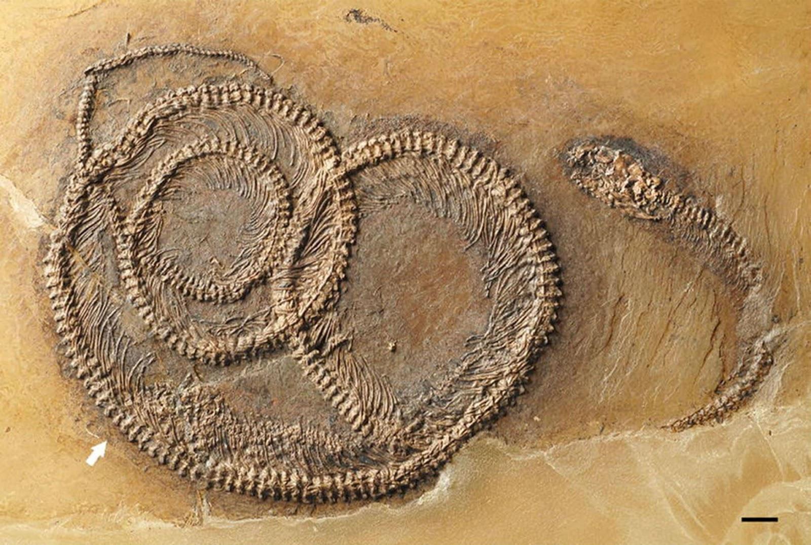 Fósil de 48 millones de años encontrado en Messel pit (Alemania)