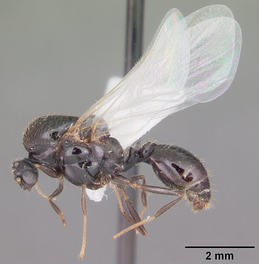 ヒアリの雄アリの標本