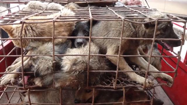 Un festival gastronómico en China sacrifica a cientos de perros para cocinarlos
