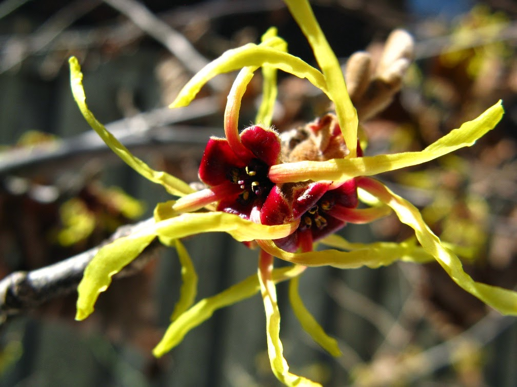 Arnold Promise witchhazel Hamemelis x intermedia bloom by garden muses-a Toronto gardening blog
