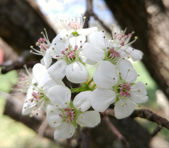 Bradford Pear bouquet #spring #blooming #trees