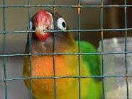 Tips Dan Cara Mengatasi Lovebird Over Birahi (OB)