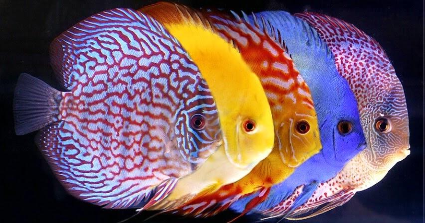Citra Indah Aquarium Cara alami Mengobati ikan yang sakit