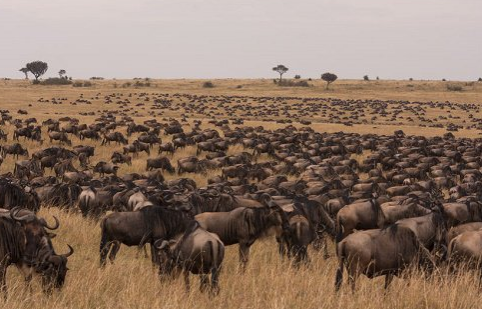 Fields Migration, stretching out from the Maasai Mara to the Serengeti