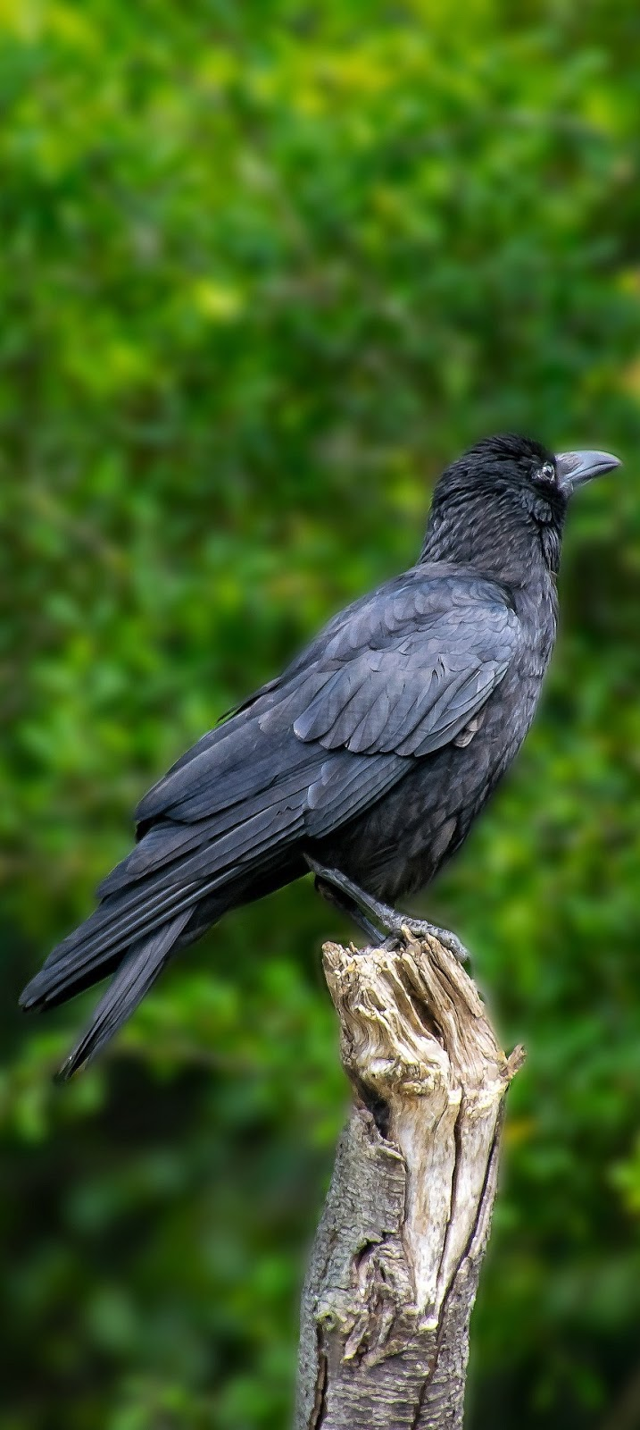 Picture of a crow.