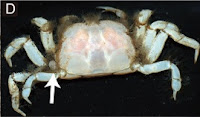 http://sciencythoughts.blogspot.co.uk/2012/09/the-evolution-of-galeommatoid-bivalves.html