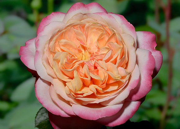 Kordes Jubilee rose сорт розы фото