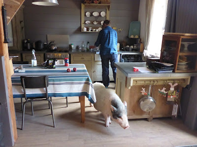 Ein ausgewachsenes Schwein in der Küche