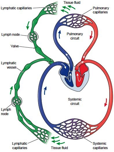 what is the relationship between lymphatic vessels and blood