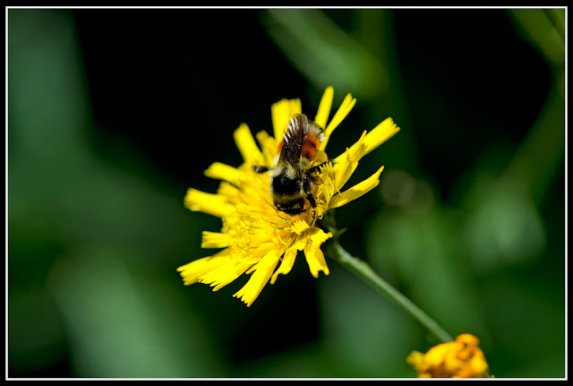 Nova Scotia; Maritimes; Flower; Bee