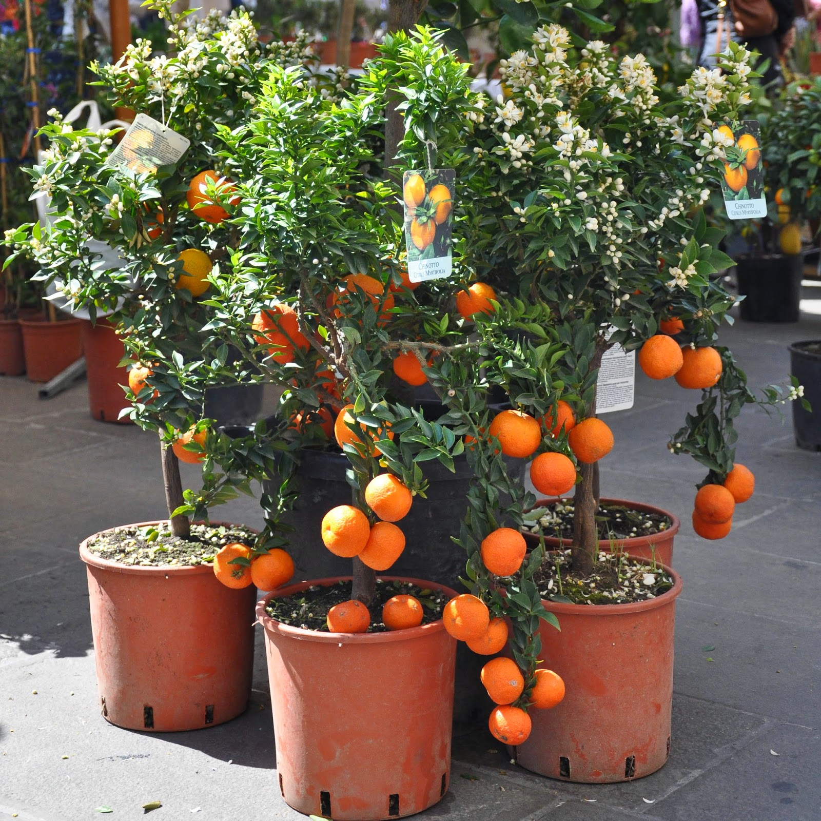 Potted citrus trees, 7th Edition of 'Fiori, colori, e...' - Floriculture market show, Vicenza, Italy