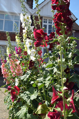 How to grow hollyhocks from seed