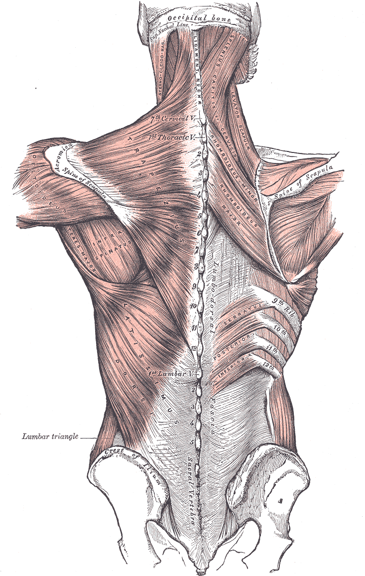 Paragon Physiotherapy: Anatomy of the Shoulder