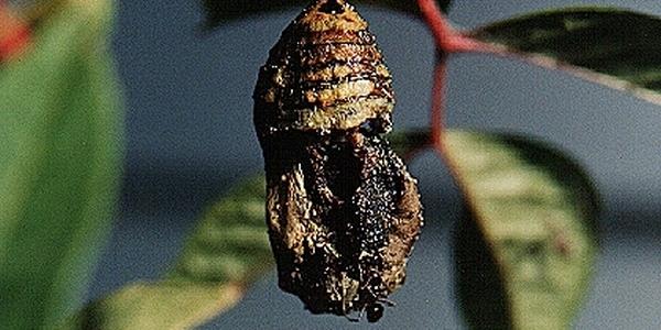 "Cerita fabel ""Semut dan Kepompong"" dialihbahasakan dan diceritakan ulang oleh ceritanakecil.com dari fabel Aesop berjudul ""The Ant and the Chrysalis""."