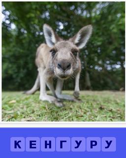 на траве стоит кенгуру крупным планом, морда и уши тянутся к объективу