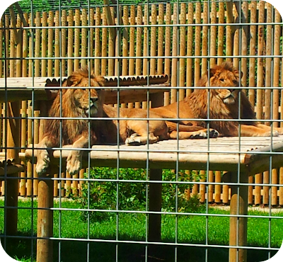 rescued lions, wingham wildlife park