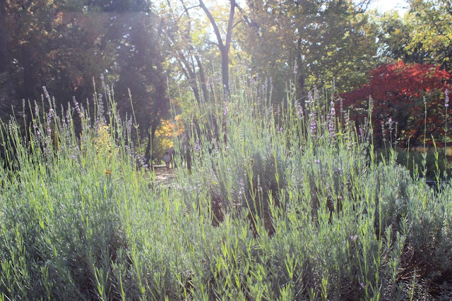 lumina toamna, lavanda, lavandula officinalis, flori toamna, parfum, miros, gradina aromatice, plante gradina design, amenajari gradini.