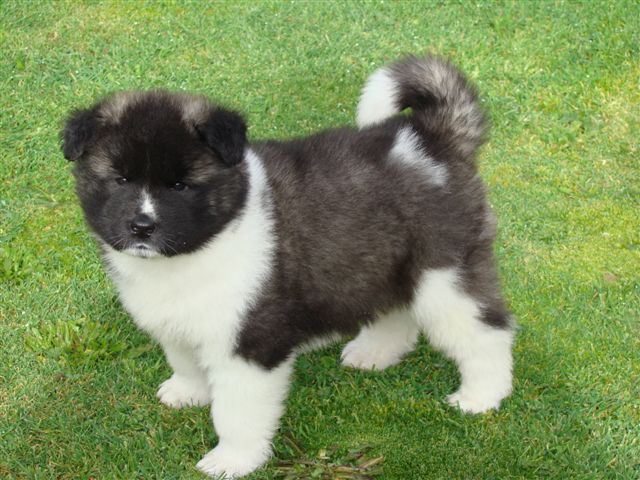Cute American Akita Puppies Pictures